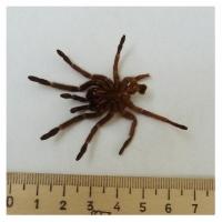 Линька паука